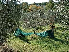 nichtraucher ferienwohnung maremma olivenbaum ernte pressung und lagerung. Black Bedroom Furniture Sets. Home Design Ideas